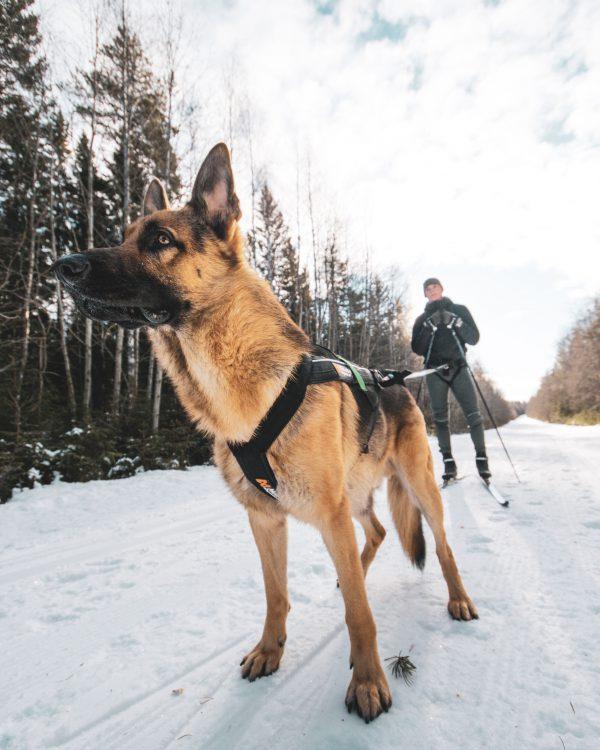 Aktivity harnais pour chien skijoring, canicross