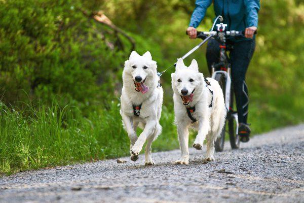 Harnais chien pour bikejoring