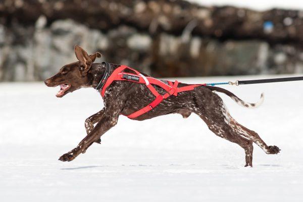 Harnais chien pour canicross et autres sports canins