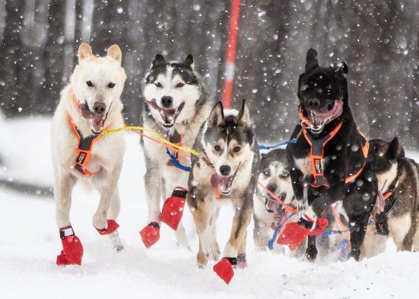 Chaussette longue distance froid pour chien de traineau Non-stop Dogwear