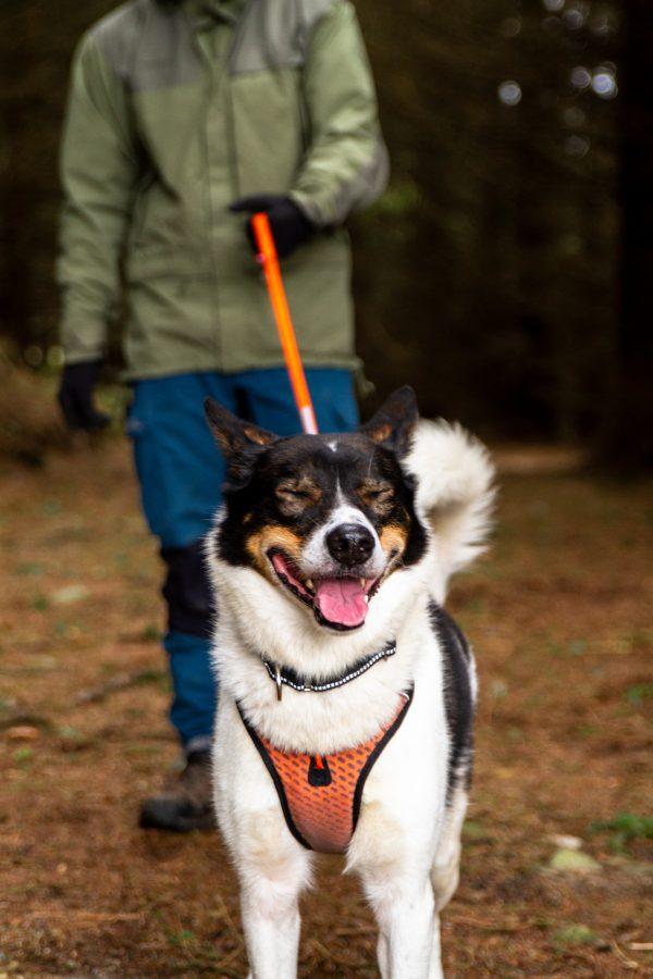 harnais pour chien skijoring